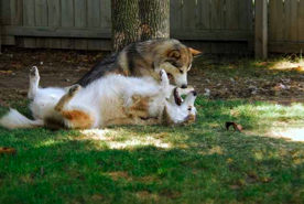 CAUTION - Malamutes at play!