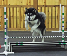 Huck trains for the broad jump in agility class, 2012