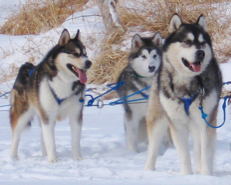 Arwen (middle) with Pegs and Howler on a day we let her run with the team