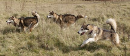Kosmo (middle) enjoys a game of chase with sisters Penny (left) and Sassy (right), November 2009