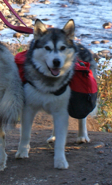 Minnie on a pack hike along the Temperance River, Fall 2009