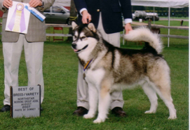 Howler takes Best of Breed and a major win at the NorthStar Working Group Specialty Show, 2007
