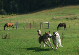 Rocket (right) and Penny at play in the horse pasture, 2009