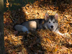 Bree at 7 months old playing in the leaf pile!